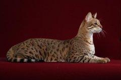 Самая дорогая кошка породы саванна